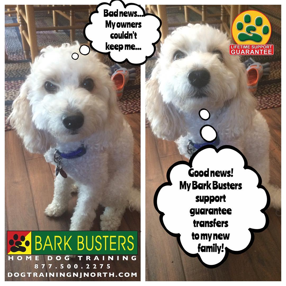#dogtraining #dogtrainerNorthernNewJersey #speakdog #Allendale #HappyDogsHappyFamilies #dogsOfBarkBusters #dogs #puppies #BarkBusters #poodle