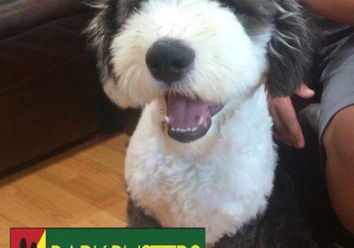 #BarkBusters #dogtraining #dogtrainerNorthernNewJersey #speakdog #dogs #puppies #HappyDogsHappyFamilies #sheepdog #OldEnglishSheepdog #dogsOfBarkBusters #Rutherford