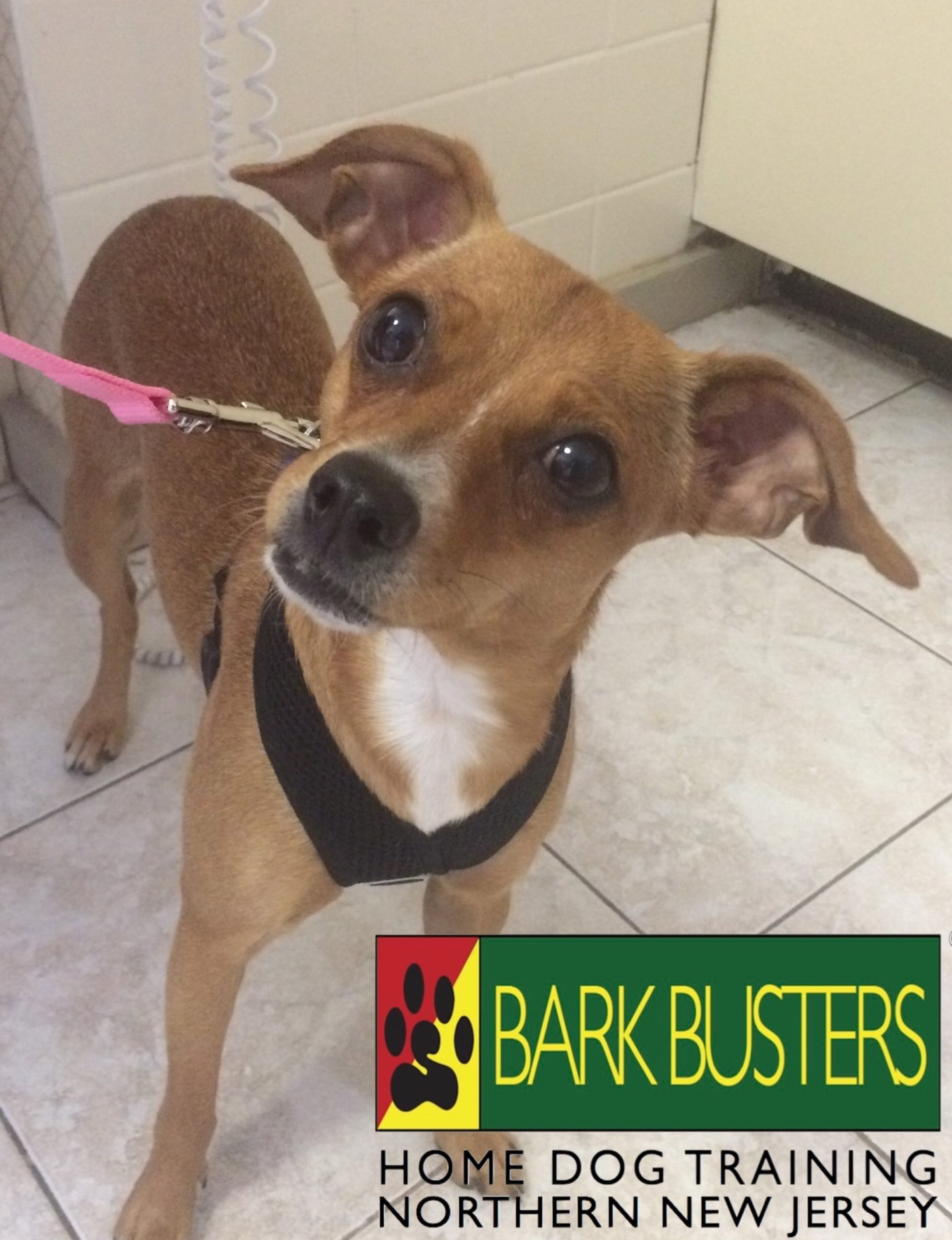 #BarkBusters #dogtrainer #dogtrainingNorthernNewJersey #speakdog #dogs #puppies #HappyDogsHappyFamilies #Chihuahua #dogsOfBarkBusters #FortLee