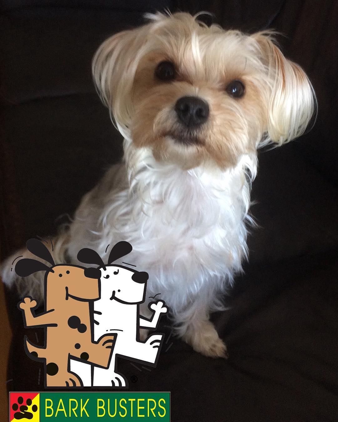 #BarkBusters #dogtraining #dogtrainerNorthernNewJersey #speakdog #dogs #puppies #HappyDogsHappyFamilies #Morkie #Maltese #Yorkshire Terrier #Yorkie #dogsOfBarkBusters #FortLee