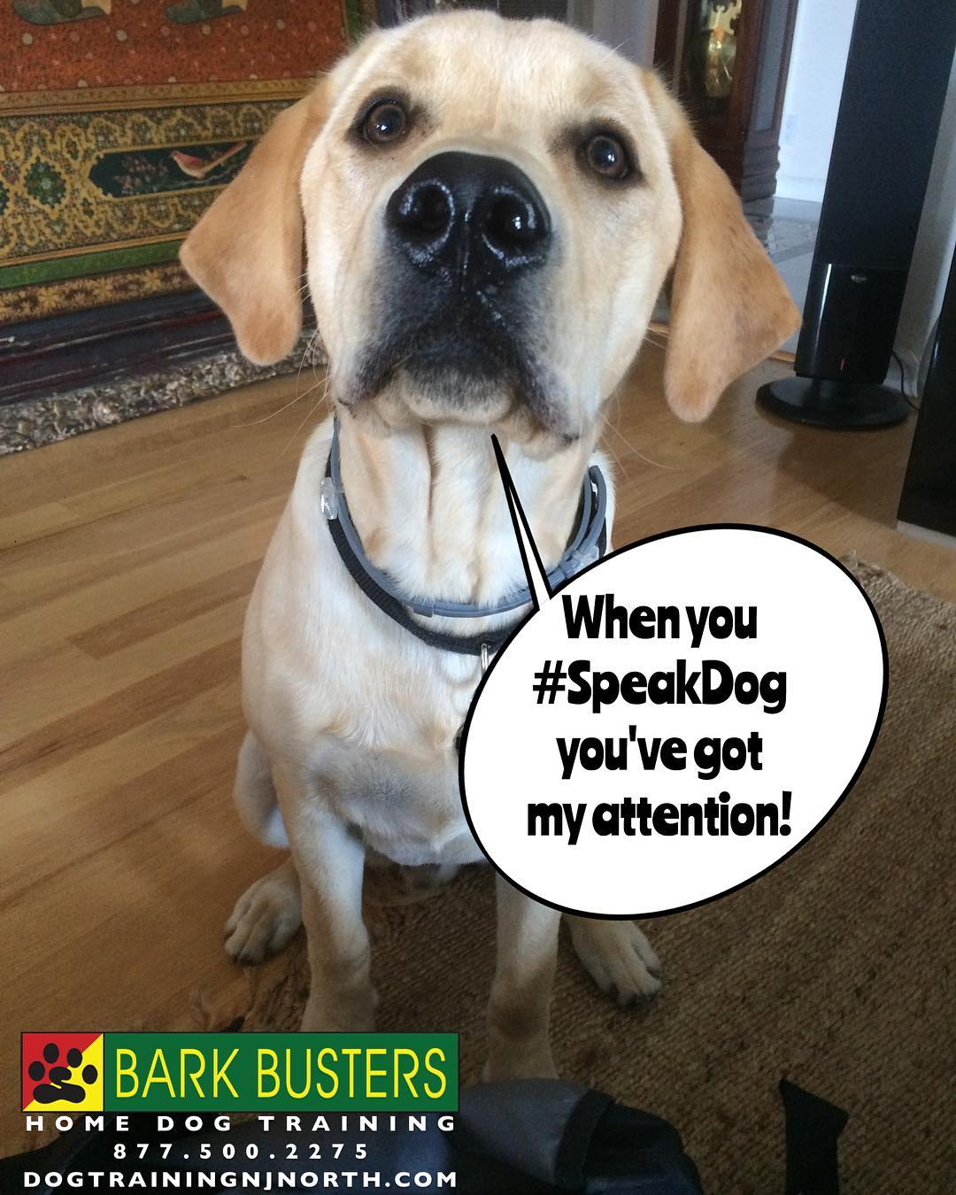 #dog #LabradorRetriever #BarkBusters #dogtraining #dogtrainerNorthernNewJersey #speakdog #dogs #puppies #HappyDogsHappyFamilies #LabsOfInstagram #dogsOfBarkBusters #Passaic