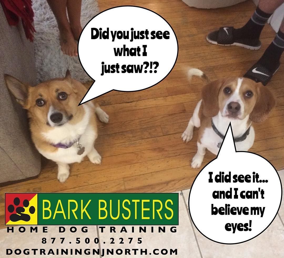 #BarkBusters #dogtraining #DogTrainerNorthernNewJersey #speakdog #dogs #puppies #HappyDogsHappyFamilies #dogsOfBarkBusters #NorthArlington #Beagle #Corgi