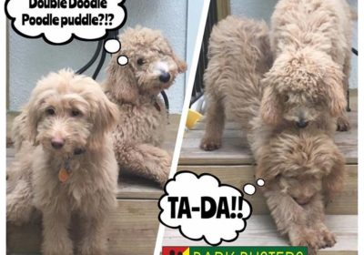 #puppy #dogtraining #GoldenDoodle #BarkBusters #speakdog #dogs #puppies #HappyDogsHappyFamilies #DogTrainerNorthernNewJersey #GoldenRetriever #Poodle #DoodlesOfInstagram #dogsOfBarkBusters #Ridgewood