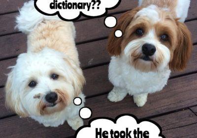 #BarkBusters #dogtrainer #speakdog #dogs #puppies #HappyDogsHappyFamilies #dogsOfBarkBusters #dogTrainingNorthernNewJersey #summer #Paramus #Havanese #havaneseofinstagram