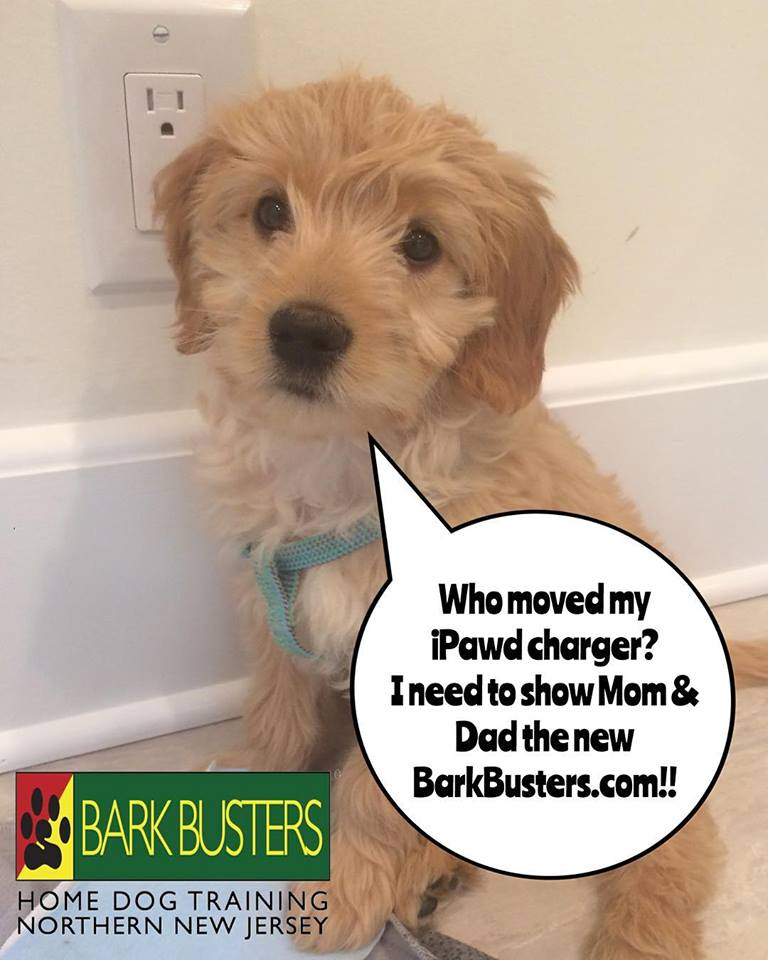 #BarkBusters #dogtrainer #dogtrainingNorthernNewJersey #speakdog #dogs #puppies #HappyDogsHappyFamilies #dogsOfBarkBusters #GoldenDoodle #GoldenRetriever #Poodle #Englewood