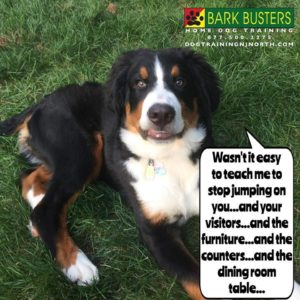 Featured Bark Busters Northern New Jersey Dog Bernese