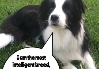 #BarkBusters #dogtraining #dogtrainerNorthernNewJersey #dogs #puppies #HappyDogsHappyFamilies #BorderCollie #dogsOfBarkBusters #Dumont #BorderColliesOfInstagram #BorderCollie #speakdog