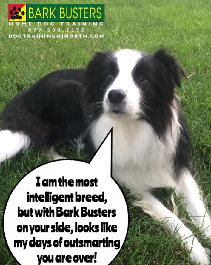 #BarkBusters #dogtraining #dogtrainerNorthernNewJersey #dogs #puppies #HappyDogsHappyFamilies #BorderCollie #dogsOfBarkBusters #Dumont #BorderColliesOfInstagram #BorderCollie #speakdog