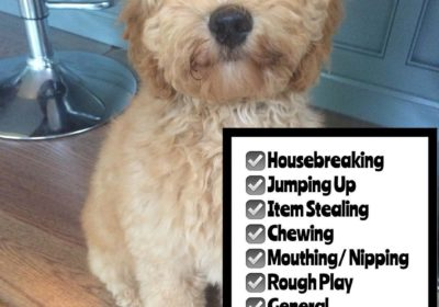 #Labradoodle #BarkBusters #dogtraining #dogtrainerNorthernNewJersey #speakdog #dogs #puppies #HappyDogsHappyFamilies #LabradoodlesOfInstagram #dogsOfBarkBusters #GlenRock