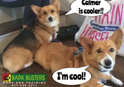 #Corgi #BarkBusters #dogtraining #dogtrainerNorthernNewJersey #speakdog #dogs #puppies #HappyDogsHappyFamilies #CorgisOfInstagram #dogsOfBarkBusters #Tenafly
