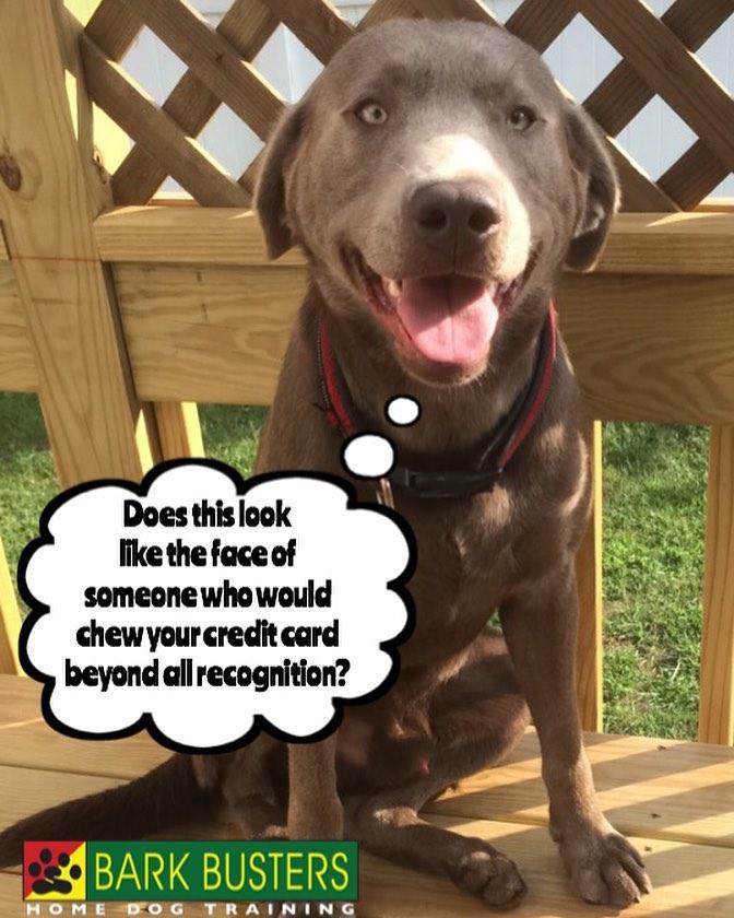 #BarkBusters #dogtraining #dogtrainerNorthernNewJersey #speakdog #dogs #puppies #HappyDogsHappyFamilies #LabradorRetriever #dogsOfBarkBusters #Demarest