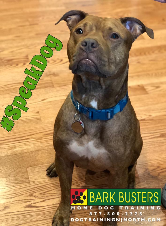 #BarkBusters #dogtraining #dogtrainerNorthernNewJersey #speakdog #dogs #puppies #HappyDogsHappyFamilies #PitBull #dogsOfBarkBusters #Ramsey