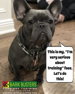 Featured Bark Busters Northern New Jersey Dog French Bulldog Prez