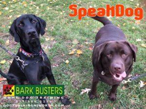 #BarkBusters #dogtrainerNorthernNewJersey #speakdog #dogs #puppies #HappyDogsHappyFamilies #MixedBreed #LabradorRetriever #dogsOfBarkBusters #GlenRock #dogtraining