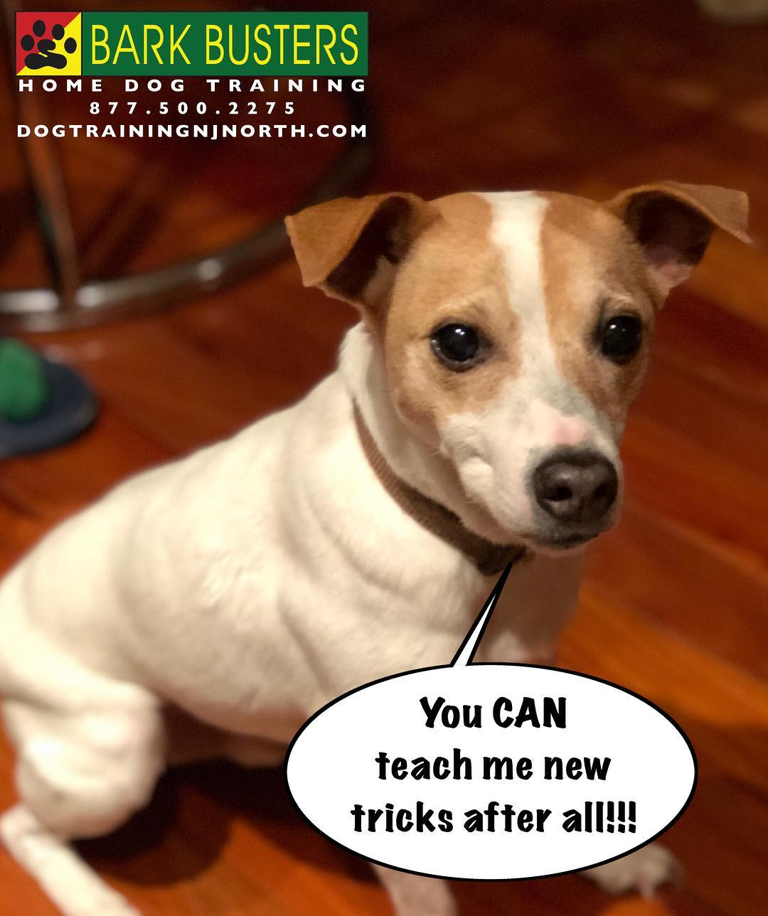 #dog #JackRussellTerrier #DogTraining #BarkBusters #dogtrainerNorthernNewJersey #speakdog #dogs #puppies #HappyDogsHappyFamilies #dogsOfBarkBusters #NorthBergen #BestDogTrainingNewJersey