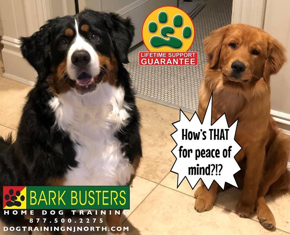 Featured Bark Busters Northern New Jersey Dogs Bernese