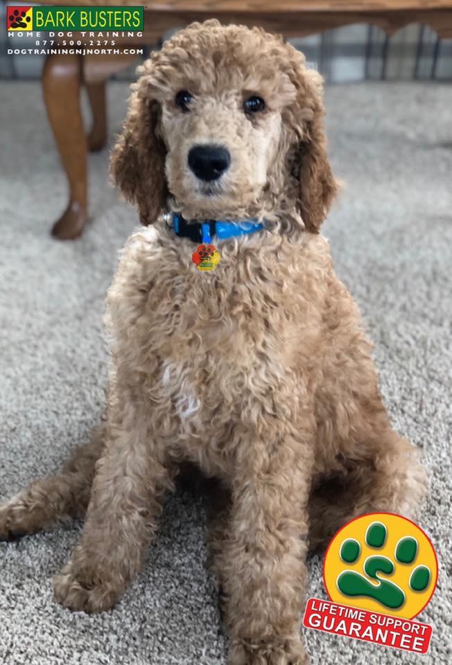 #StandardPoodle #BarkBusters #dogtrainer #dogtrainingNorthernNewJersey #speakdog #dogs #puppies #HappyDogsHappyFamilies #dogsOfBarkBusters #Teaneck #Paramus #Ridgewood #GlenRock #Hoboken #WoodcliffLake #Englewood #Closter #LifetimeSupportGuarantee