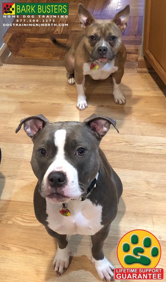 #Pitbull #Dogs #BarkBusters #dogtrainer #dogtrainingNorthernNewJersey #speakdog #puppies #HappyDogsHappyFamilies #dogsOfBarkBusters #Allendale #paramus #ridgewood #RiverEdge #Maywood #Hoboken #edgewater #MagicInTheMethod #LifetimeSupportGuarantee #MagicInTheMethod