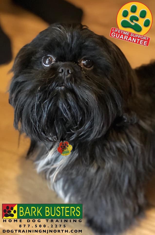 #shihtzu #dogtraining #puppy #puppyeducation #dogtrainer #lifetimesupportguarantee #BarkBusters #dogtrainingNorthernNewJersey #speakdog #dogs #puppies #HappyDogsHappyFamilies #dogsOfBarkBusters #Wyckoff #Paramus #Ridgewood #GlenRock #Hoboken #WoodcliffLake #Englewood #Closter #housebreaking #mouthing #nipping #chewing #itemstealing #jumpingup #cratetraining #barking #separationanxiety #Bayonne