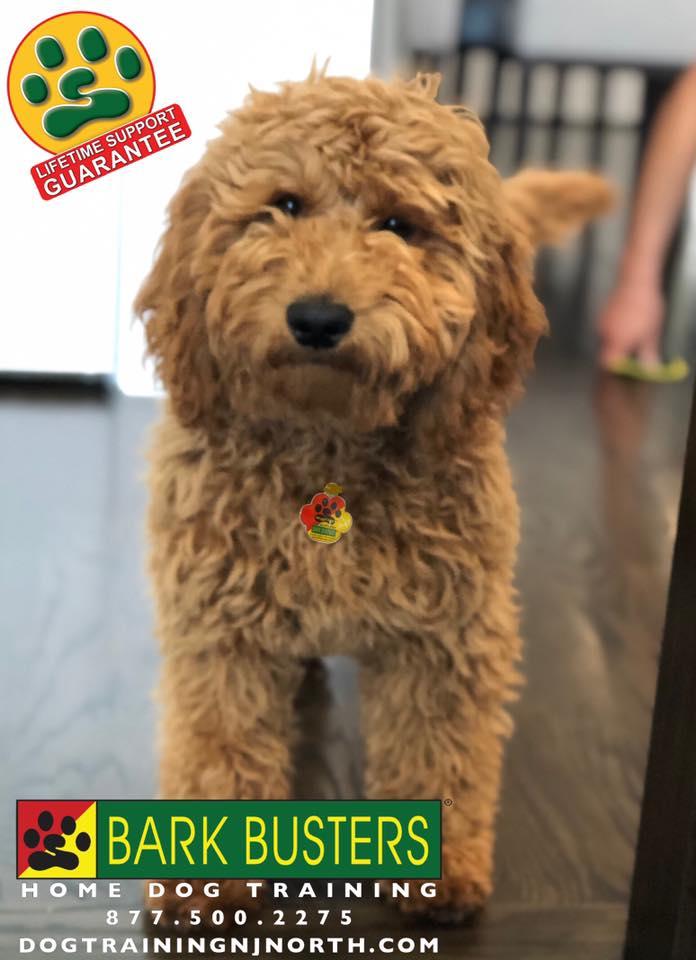 #puppy #puppyeducation #dogtraining #lifetimesupportguarantee #BarkBusters #dogtrainer #dogtrainingNorthernNewJersey #dogs #puppies #HappyDogsHappyFamilies #dogsOfBarkBusters #Wyckoff #Paramus #Ridgewood #GlenRock #Hoboken #WoodcliffLake #Englewood #Closter #housebreaking #mouthing #nipping #chewing #itemstealing #jumpingup #cratetraining #barking