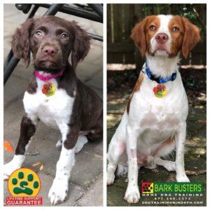 #BarkBusters #dogtraining #dogtrainerNorthernNewJersey #speakdog #dogs #puppies #HappyDogsHappyFamilies #dogsOfBarkBusters #paramus #ridgewood #hawthorne #alpine #dumont #bergenfield #wallington #demarest #Brittany #BrittanySpaniel