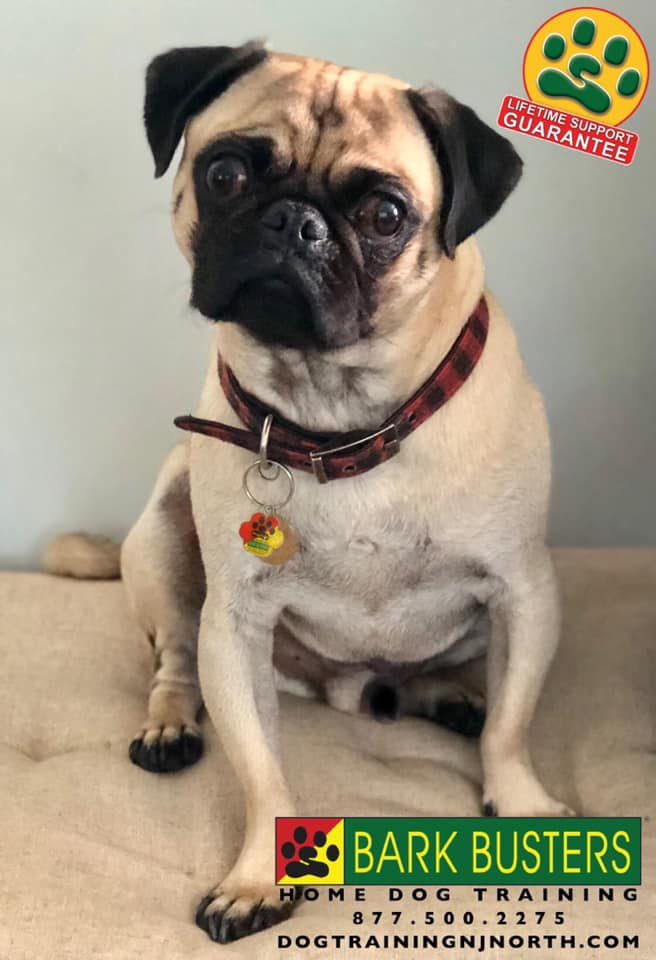 #BarkBusters #dogtrainerNorthernNewJersey #speakdog #dogs #puppies #HappyDogsHappyFamilies #dogsOfBarkBusters #paramus #ridgewood #hawthorne #alpine #dumont #bergenfield #glenrock #demarest #HoHoKus #pugsofinstagram #dogtraining #pug