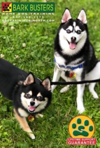#mixedbreed #dogtrainer #dogtraining #dogtrainingNorthernNewJersey #dogs #puppies #HappyDogsHappyFamilies #dogsOfBarkBusters #paramus #ridgewood #oradell #closter #edgewater #englewood #demarest #oldtappan #ramsey #pomeranian #kleekai #chihuahua #mixedbreed