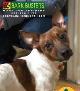 #BarkBusters #dogtrainer #dogtraining #dogtrainingNorthernNewJersey #speakdog #dogs #puppies #HappyDogsHappyFamilies #dogsOfBarkBusters #paramus #ridgewood #oradell #closter #edgewater #englewood #demarest #hawthorne #hoboken #tenafly #bergencounty #bergencountydogtrainer #jackrussellterrier